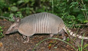 800px-Nine-banded_Armadillo