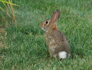 eastern_cottontail
